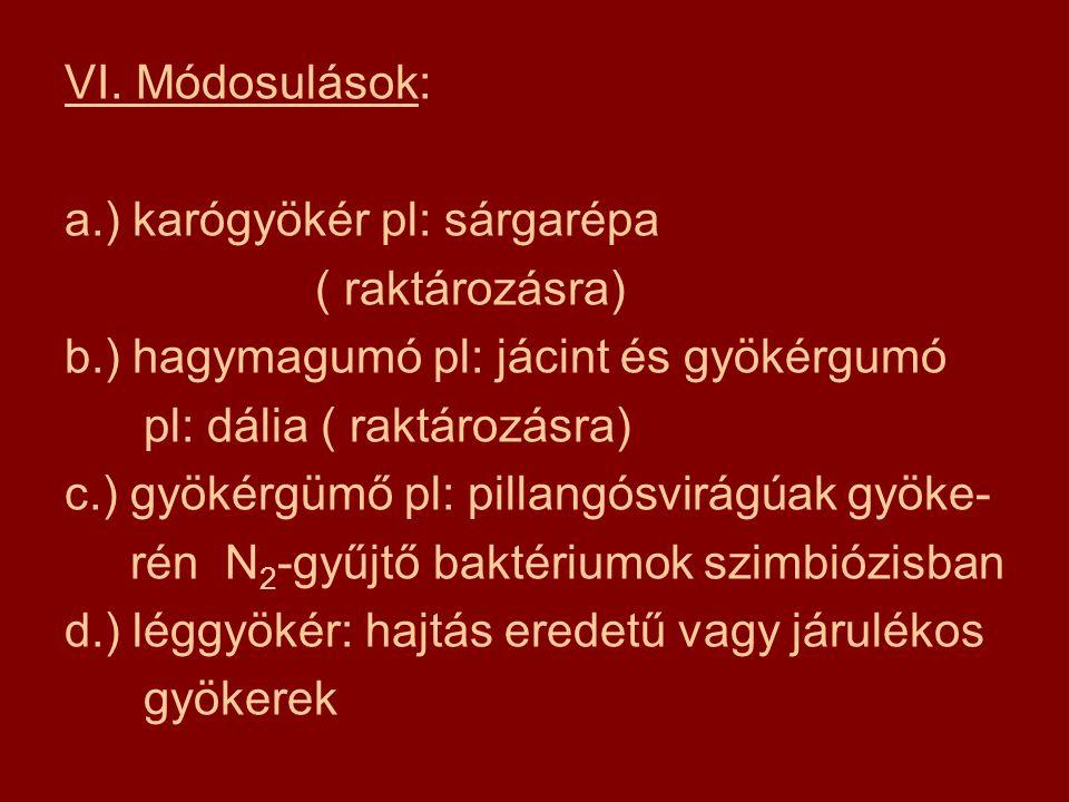 VI. Módosulások: a.) karógyökér pl: sárgarépa ( raktározásra) b.) hagymagumó pl: jácint és gyökérgumó pl: dália ( raktározásra) c.) gyökérgümő pl: pil
