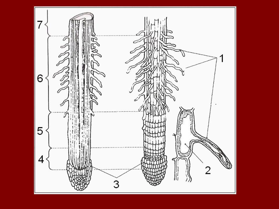 a.) gyökérsüveg: - védi az osztódószövetet - gyökérsavat termel - elhaló sejtek elnyálkásodnak - segítik a lefelé növekedést ( pozitív geotropizmus) b.) osztódási zóna: - elsődleges osztódószövet →gyökércsúcs - folyamatos mitózisok (számtartó osztódás)