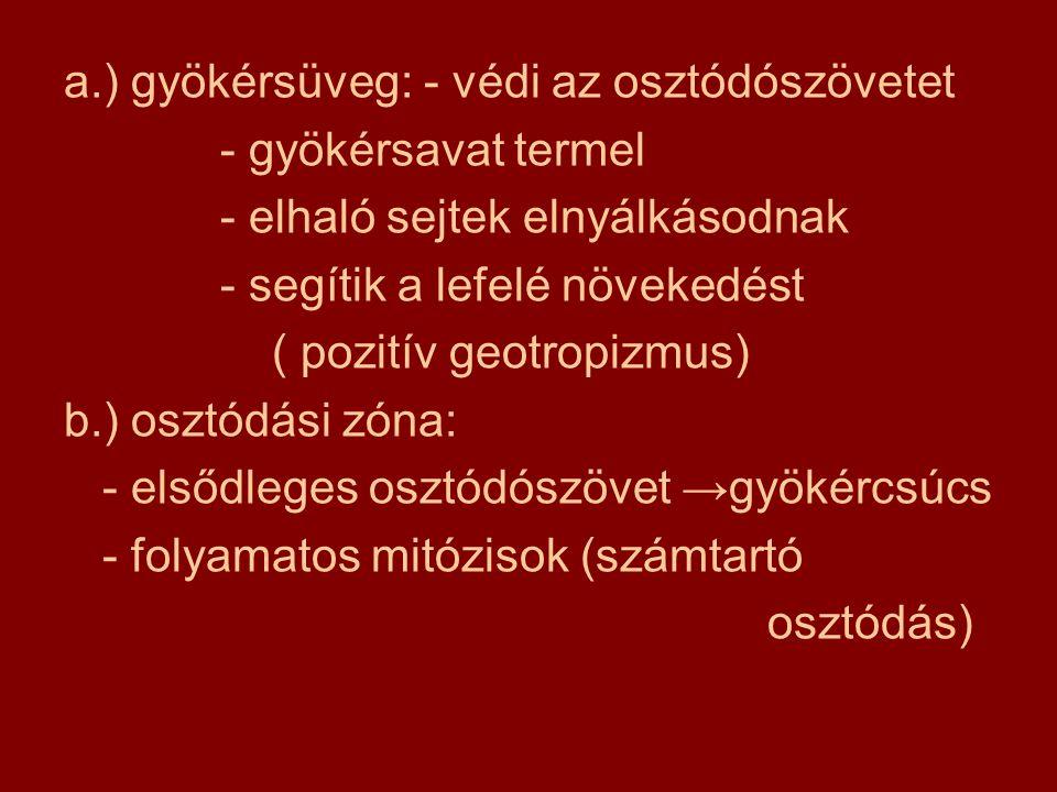 járulékos gyökerek : más növényi szervből ( szár, lomblevél ) fejlődnek ki 1.) kapaszkodó léggyökér pl: borostyán 2.) támasztó léggyökér pl: mangrove, ben- gáliai szent fügefa 3.) pányvázó- vagy koronagyökér pl: kukorica 4.) szívógyökér pl: aranka ( élősködés ) 5.) valódi léggyökér: pl:epifiták (vízfelvétel)