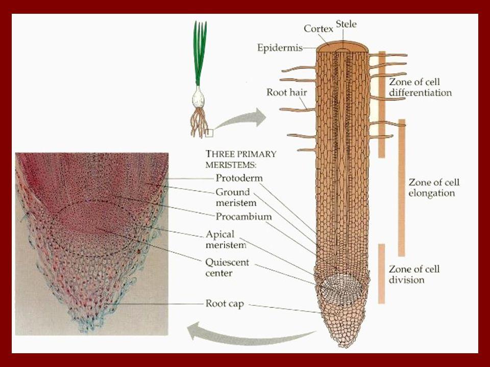 c.) megnyúlási zóna: - hosszanti megnyúlás - szövetek elkülönülése ( bőr-, szállító-, alapszövet) d.) felszívási zóna: - intenzív tápanyagfelvétel - gyökérszőrök ( alul képződnek, felül pusztulnak)