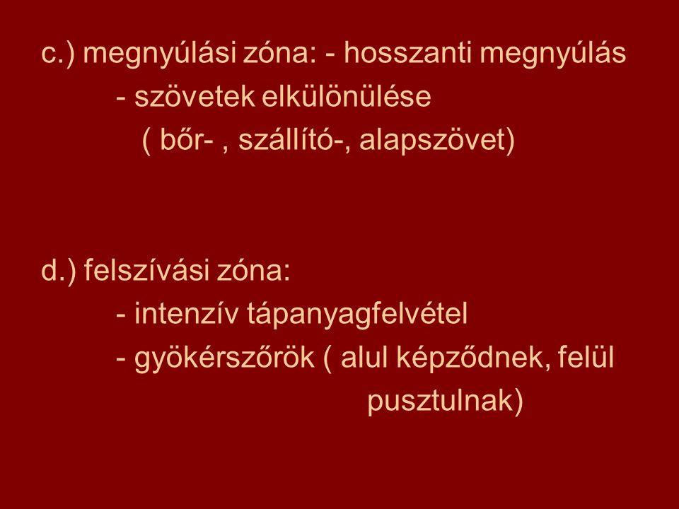 c.) megnyúlási zóna: - hosszanti megnyúlás - szövetek elkülönülése ( bőr-, szállító-, alapszövet) d.) felszívási zóna: - intenzív tápanyagfelvétel - g