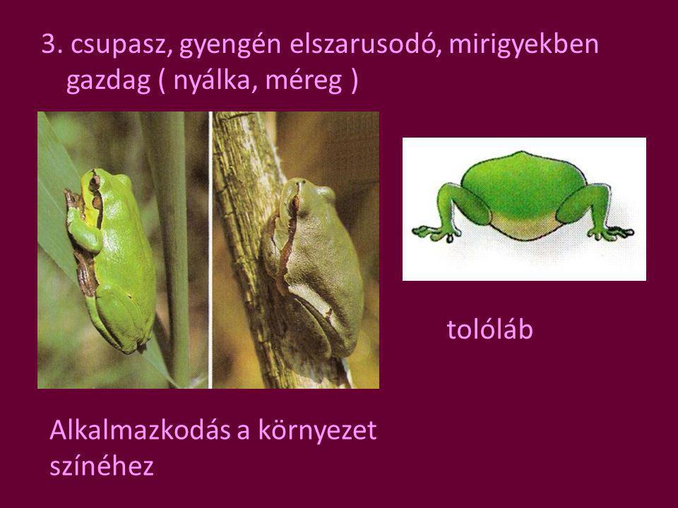 3. csupasz, gyengén elszarusodó, mirigyekben gazdag ( nyálka, méreg ) tolóláb Alkalmazkodás a környezet színéhez