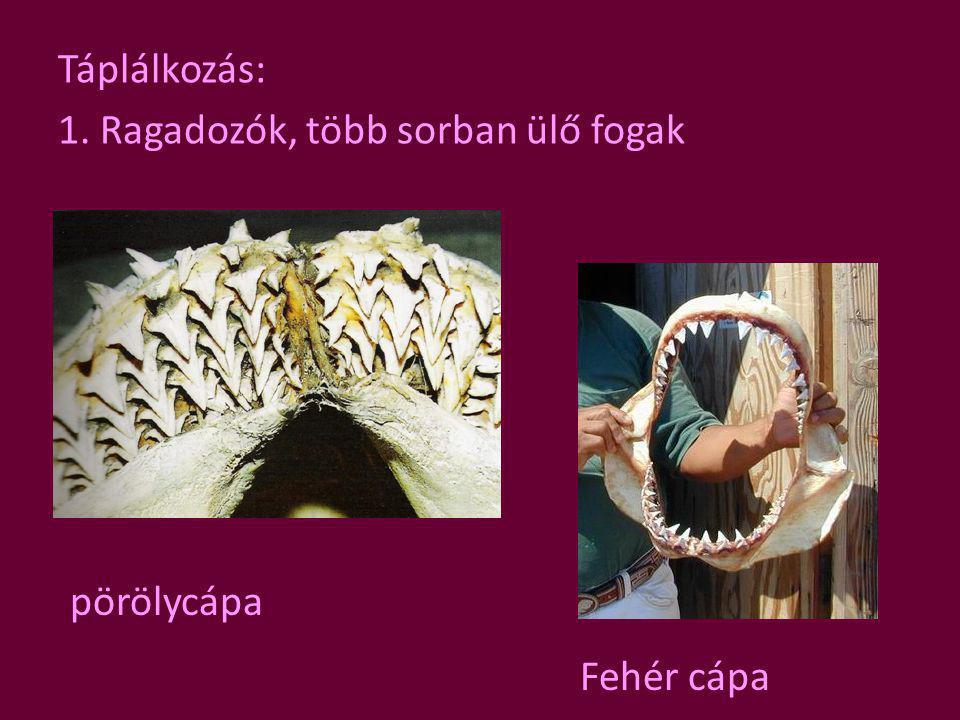 Táplálkozás: 1. Ragadozók, több sorban ülő fogak Fehér cápa pörölycápa