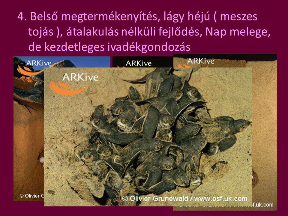 4. Belső megtermékenyítés, lágy héjú ( meszes tojás ), átalakulás nélküli fejlődés, Nap melege, de kezdetleges ivadékgondozás