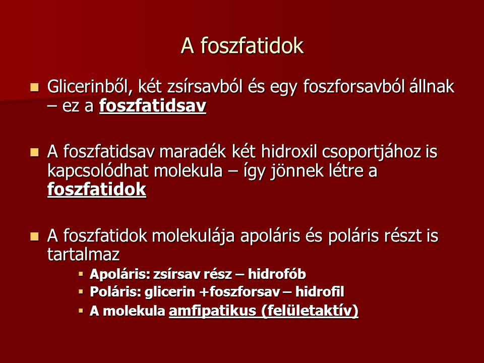 A foszfatidok Glicerinből, két zsírsavból és egy foszforsavból állnak – ez a foszfatidsav Glicerinből, két zsírsavból és egy foszforsavból állnak – ez