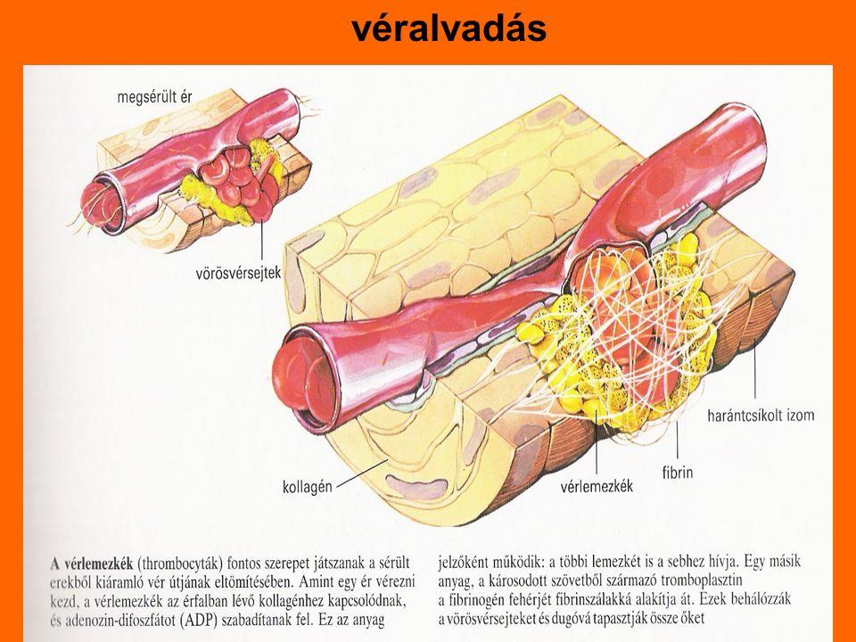 Vérzések és csillapítások Érsérülés miatt  vérzés -0,5l vérvesztés kritikus  sokk -vérvesztést okoz:a vízvesztés/hányás, hasmenés Vérzés helye szerint: -külső:felszinen futó erek sérülnek  kifelé vérzik a sérült vérző testtáját a szívnél magasabbra emeljük, sebtől kifele tisztítani,bekötni Hajszáleres vérzés:-kevés vér szivárog -fedőkötés Gyűjtőeres vérzés: -sötét színű, egyenletesen folyik -nyomókötés