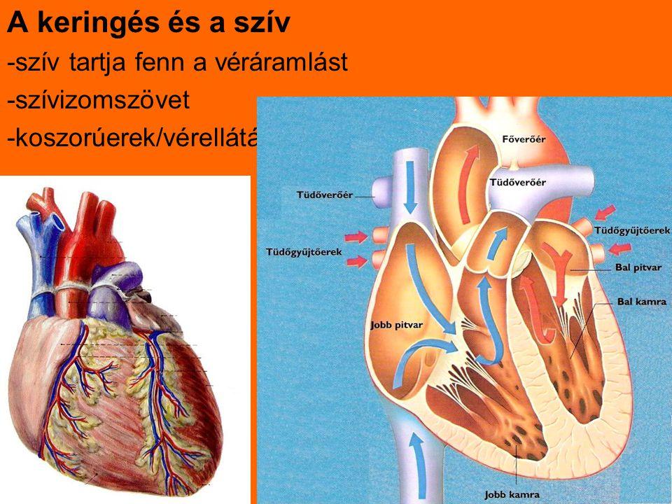 A keringés és a szív -szív tartja fenn a véráramlást -szívizomszövet -koszorúerek/vérellátás