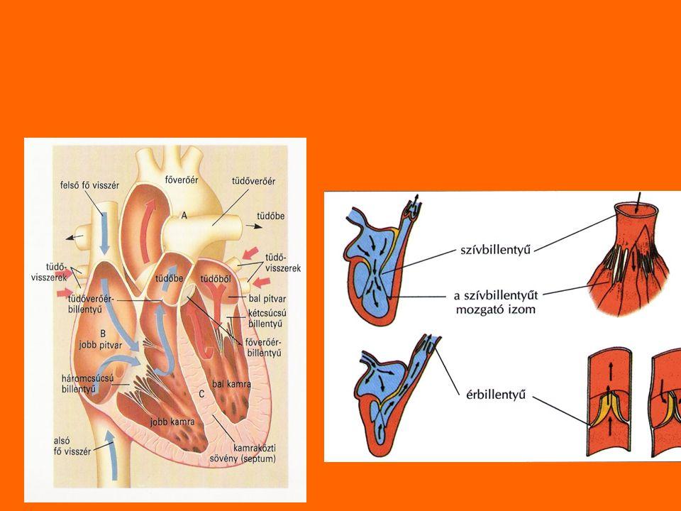 Szívműködés: a szívizomzat ritmusos összehúzódása és elernyedése Szívciklus szakaszai: 1.Nyugalmi szakasz:szív elernyed, a pitvarok vérrel telítődnek 2.Pitvarok összehúzódnak és vér áramlik a kamrákba 3.Kamrák összehúzódnak és a vér a verőerekbe jut majd a tüdőbe.