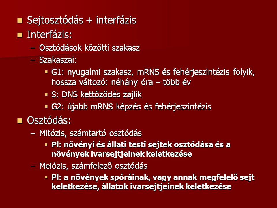 Sejtosztódás + interfázis Sejtosztódás + interfázis Interfázis: Interfázis: –Osztódások közötti szakasz –Szakaszai:  G1: nyugalmi szakasz, mRNS és fe