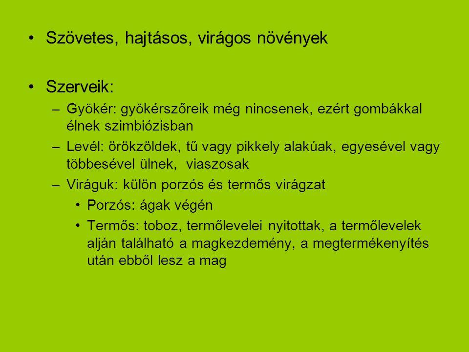 Szövetes, hajtásos, virágos növények Szerveik: –Gyökér: gyökérszőreik még nincsenek, ezért gombákkal élnek szimbiózisban –Levél: örökzöldek, tű vagy p