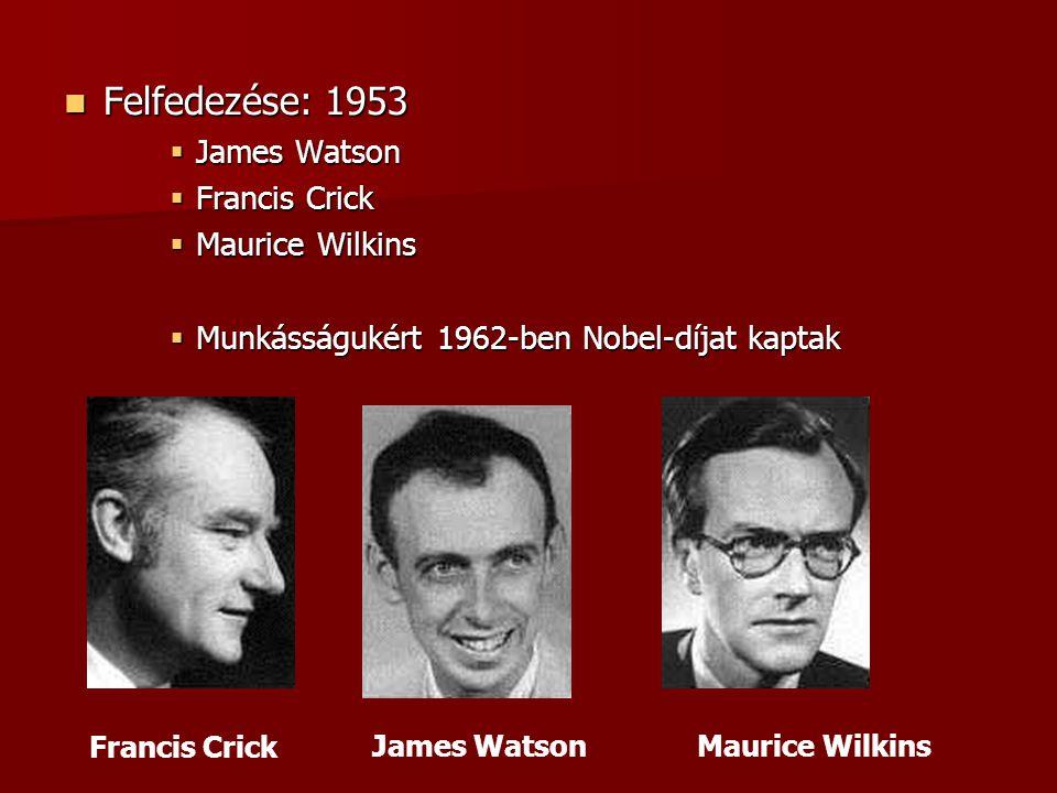 Felfedezése: 1953 Felfedezése: 1953  James Watson  Francis Crick  Maurice Wilkins  Munkásságukért 1962-ben Nobel-díjat kaptak James Watson Francis