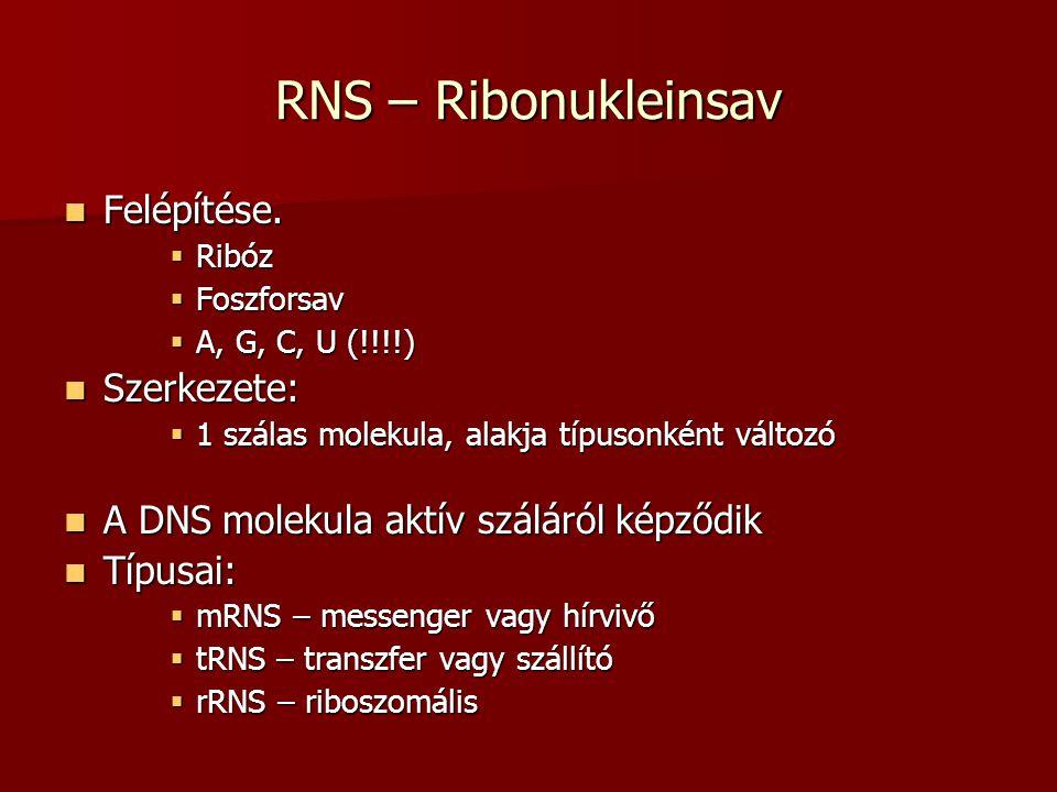 RNS – Ribonukleinsav Felépítése. Felépítése.  Ribóz  Foszforsav  A, G, C, U (!!!!) Szerkezete: Szerkezete:  1 szálas molekula, alakja típusonként
