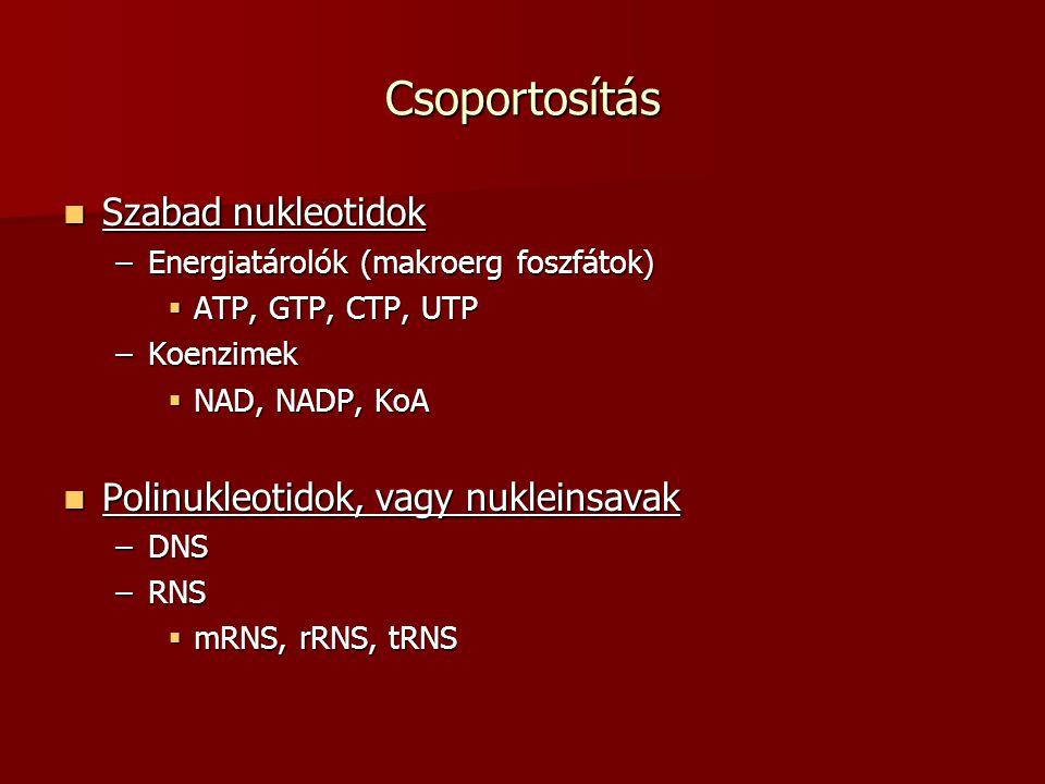 Csoportosítás Szabad nukleotidok Szabad nukleotidok –Energiatárolók (makroerg foszfátok)  ATP, GTP, CTP, UTP –Koenzimek  NAD, NADP, KoA Polinukleoti