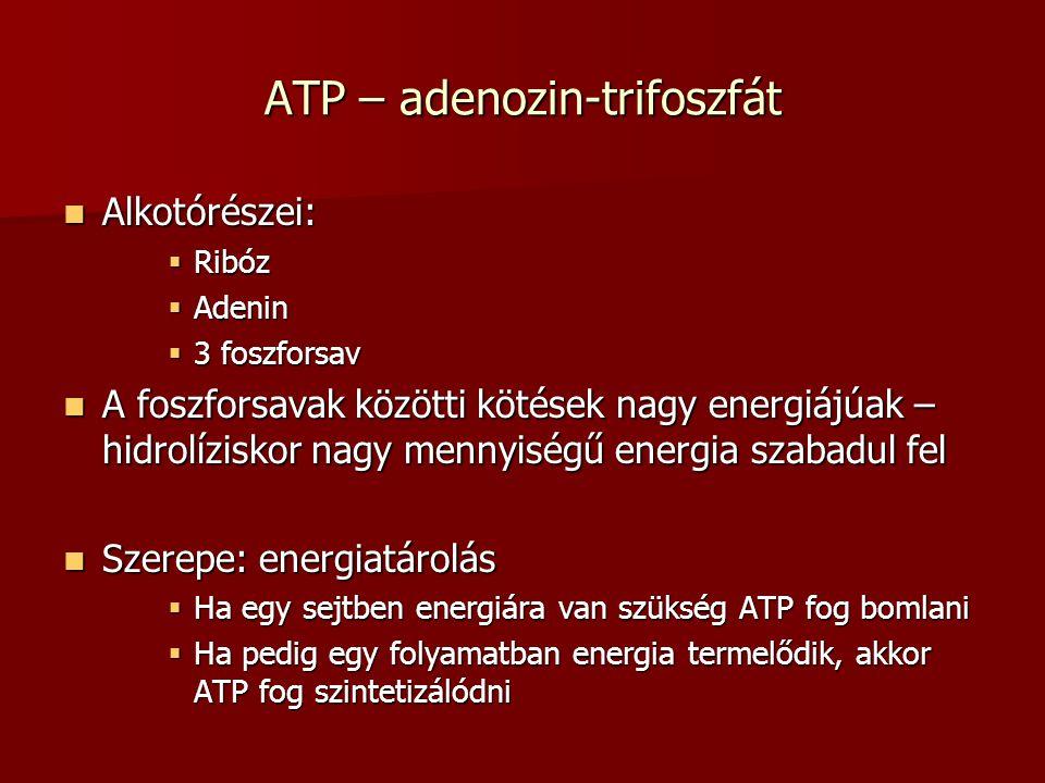ATP – adenozin-trifoszfát Alkotórészei: Alkotórészei:  Ribóz  Adenin  3 foszforsav A foszforsavak közötti kötések nagy energiájúak – hidrolíziskor
