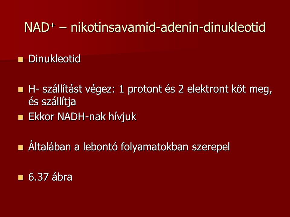 NAD+ – nikotinsavamid-adenin-dinukleotid Dinukleotid Dinukleotid H- szállítást végez: 1 protont és 2 elektront köt meg, és szállítja H- szállítást vég