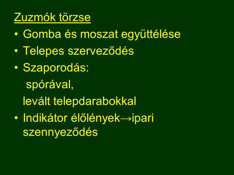 Zuzmók törzse Gomba és moszat együttélése Telepes szerveződés Szaporodás: spórával, levált telepdarabokkal Indikátor élőlények→ipari szennyeződés