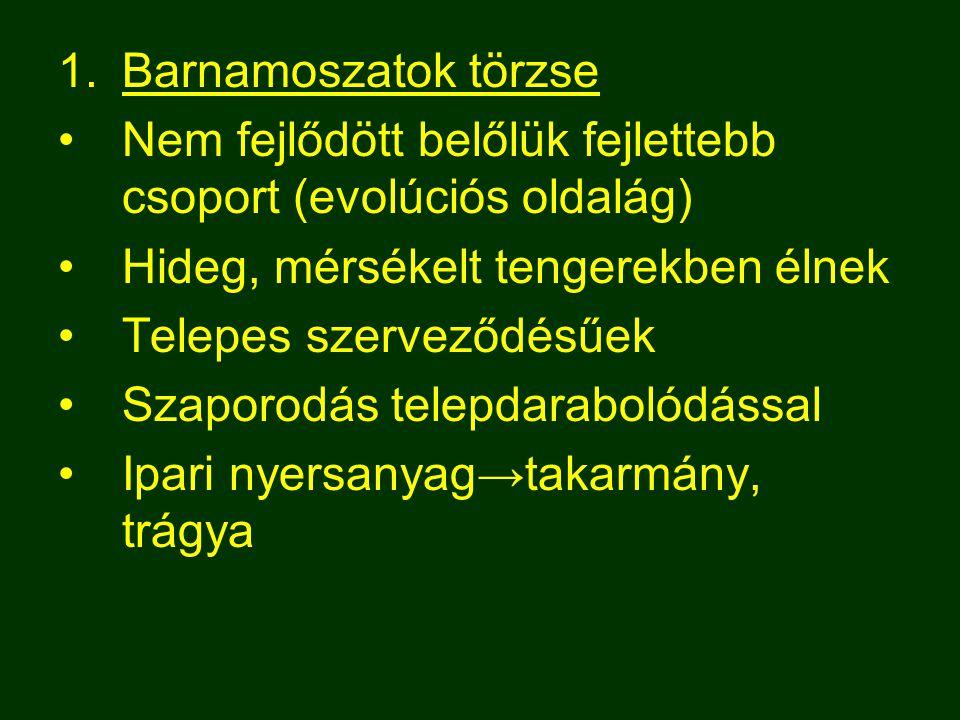 1.Barnamoszatok törzse Nem fejlődött belőlük fejlettebb csoport (evolúciós oldalág) Hideg, mérsékelt tengerekben élnek Telepes szerveződésűek Szaporod