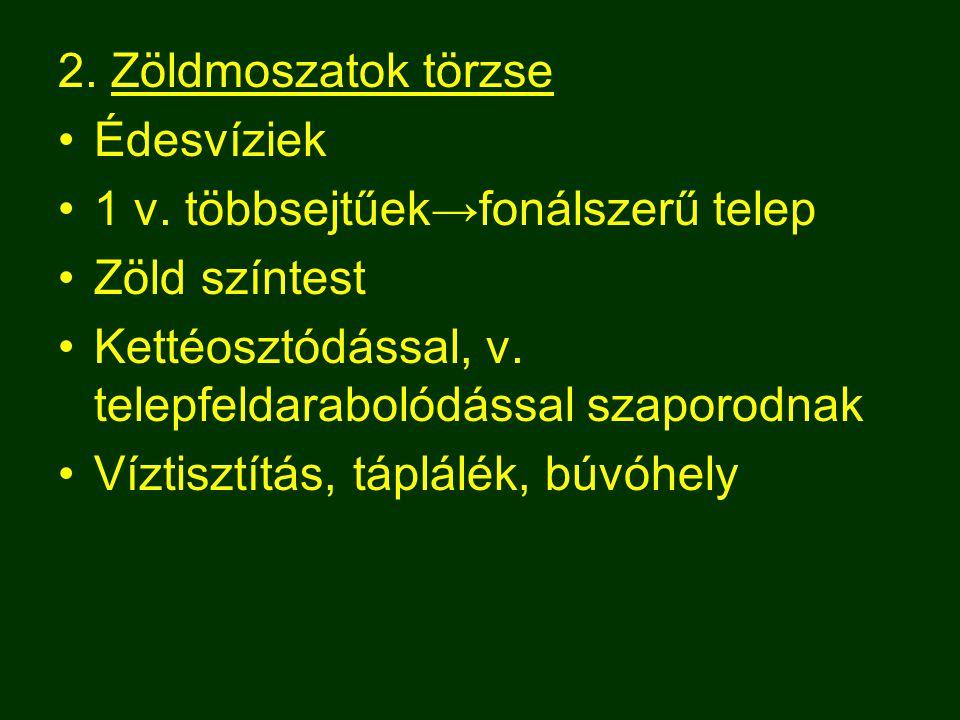 2. Zöldmoszatok törzse Édesvíziek 1 v. többsejtűek→fonálszerű telep Zöld színtest Kettéosztódással, v. telepfeldarabolódással szaporodnak Víztisztítás