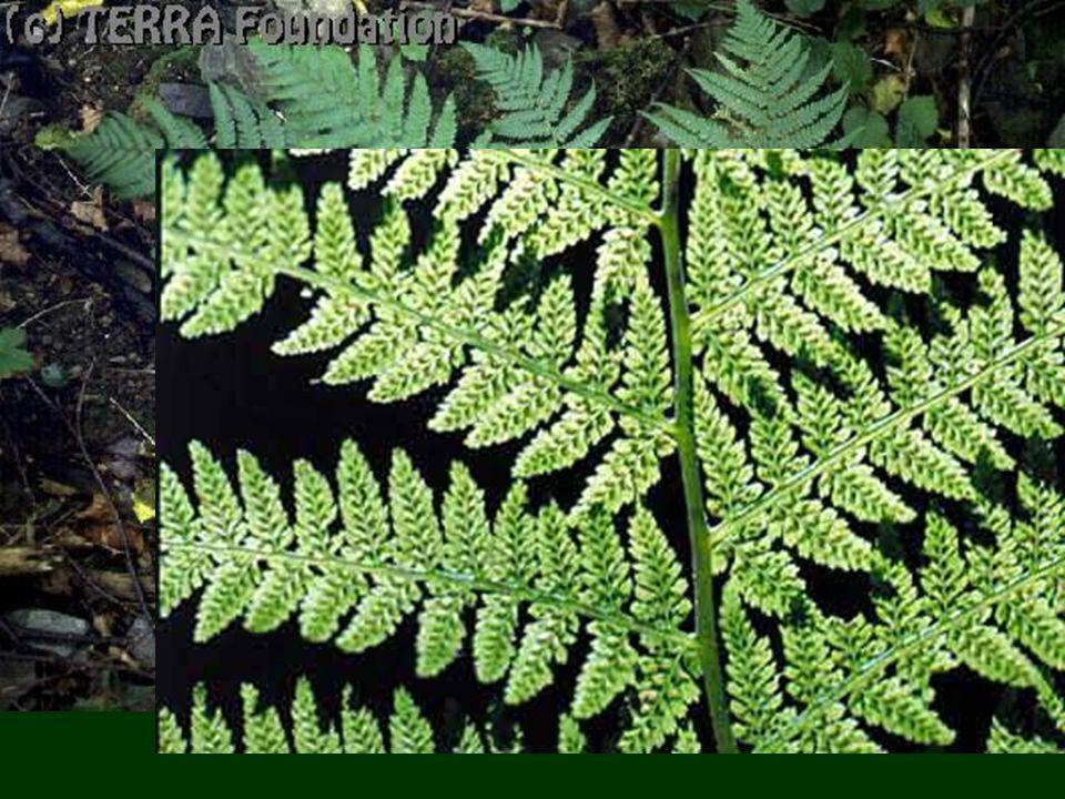 a)Páfrányok osztály Gyöktörzs : a földben raktároz Levelek fonákán spóratartó tokok Fajok: erdei pajzsika, gímpáfrány, aranyos fodorka
