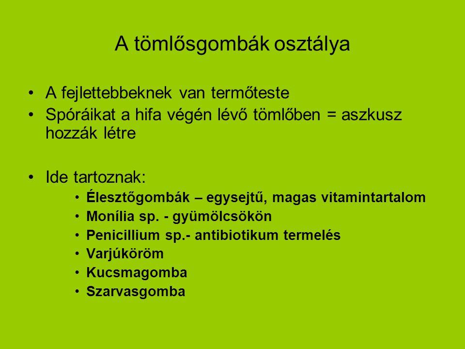A tömlősgombák osztálya A fejlettebbeknek van termőteste Spóráikat a hifa végén lévő tömlőben = aszkusz hozzák létre Ide tartoznak: Élesztőgombák – egysejtű, magas vitamintartalom Monília sp.