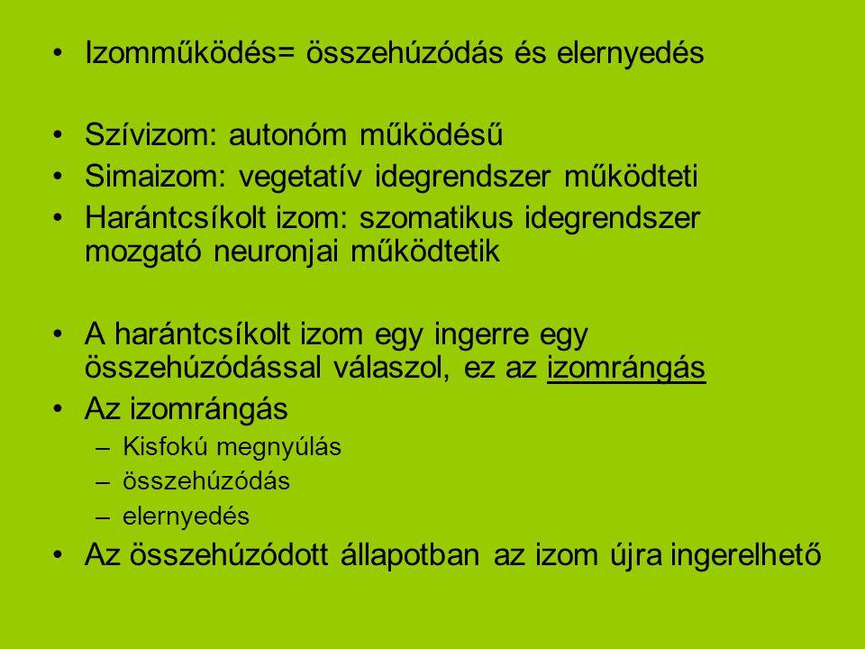Izomműködés= összehúzódás és elernyedés Szívizom: autonóm működésű Simaizom: vegetatív idegrendszer működteti Harántcsíkolt izom: szomatikus idegrends