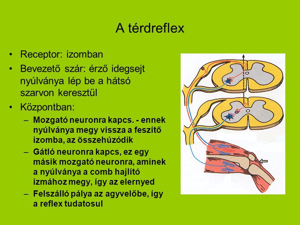 A térdreflex Receptor: izomban Bevezető szár: érző idegsejt nyúlványa lép be a hátsó szarvon keresztül Központban: –Mozgató neuronra kapcs. - ennek ny