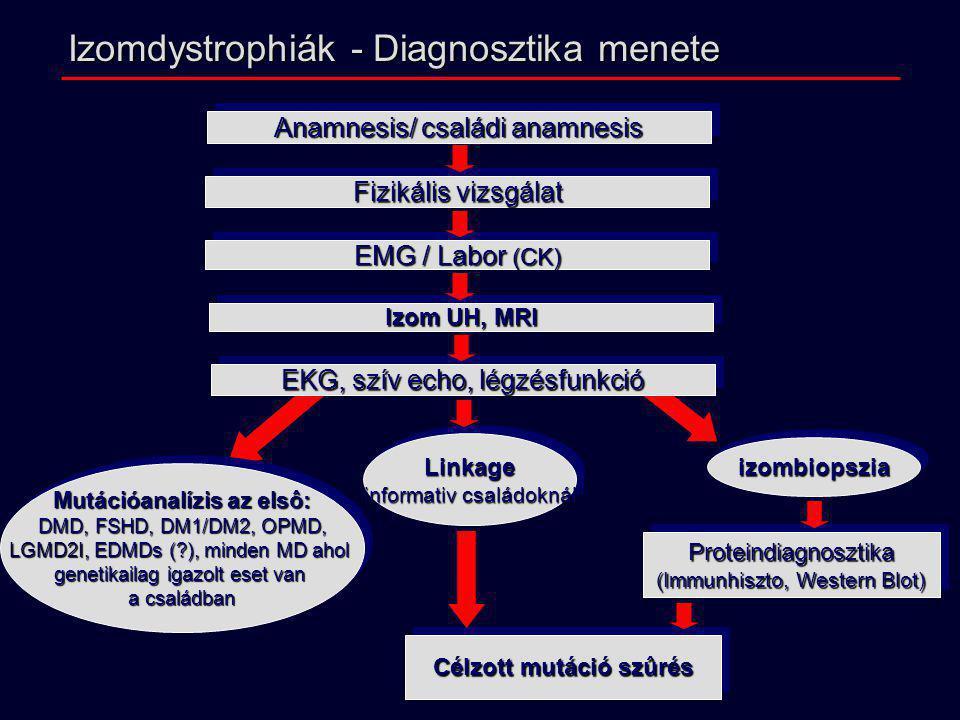 Izomdystrophiák - Diagnosztika menete Anamnesis/ családi anamnesis Fizikális vizsgálat EMG / Labor (CK) EKG, szív echo, légzésfunkció Izom UH, MRI Pro