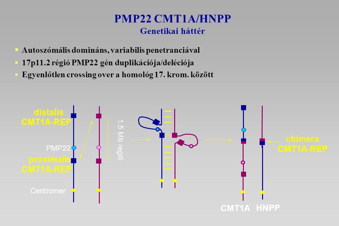  Autoszómális domináns, variabilis penetranciával  17p11.2 régió PMP22 gén duplikációja/deléciója  Egyenlőtlen crossing over a homológ 17. krom. kö