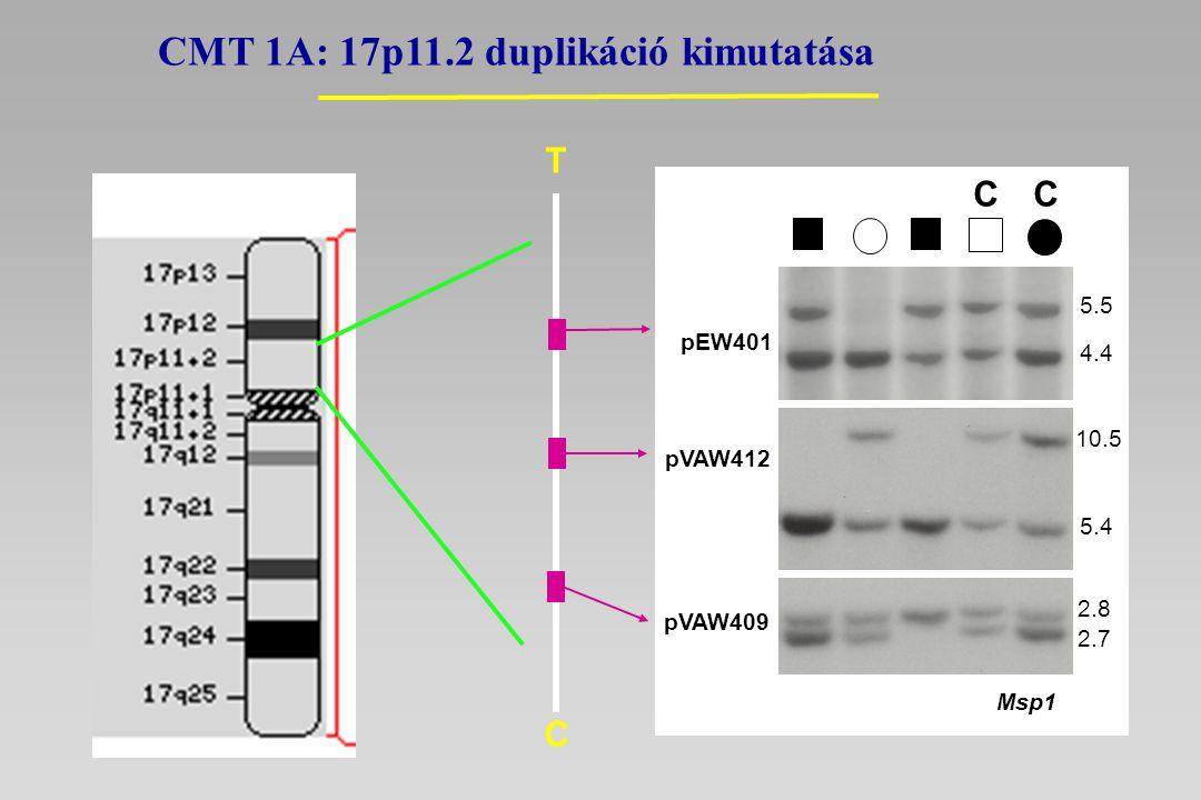 T C 5.5 4.4 pEW401 2.8 2.7 pVAW409 10.5 5.4 pVAW412 CC Msp1 CMT 1A: 17p11.2 duplikáció kimutatása