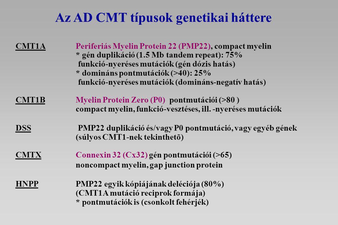 CMT1A Periferiás Myelin Protein 22 (PMP22), compact myelin * gén duplikáció (1.5 Mb tandem repeat): 75% funkció-nyeréses mutációk (gén dózis hatás) *