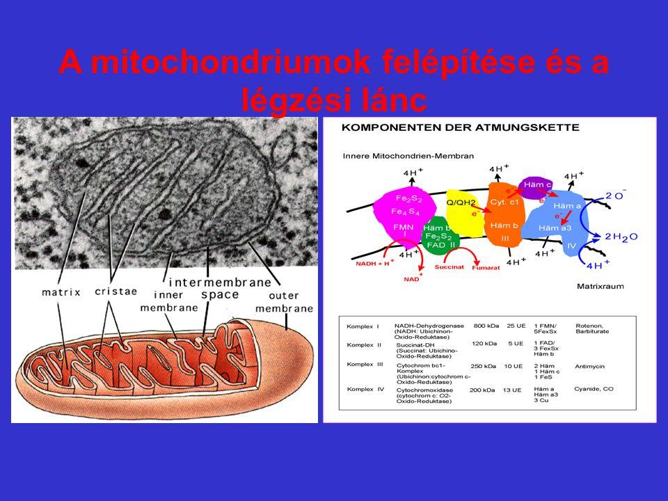 A mitochondriumok felépítése és a légzési lánc