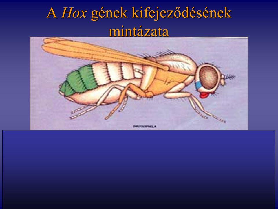 A Hox gének kifejeződésének mintázata labialproboscipedia deformed Sex comb reduced Antennapedia Ultrabithorax Abdominal A Abdominal B