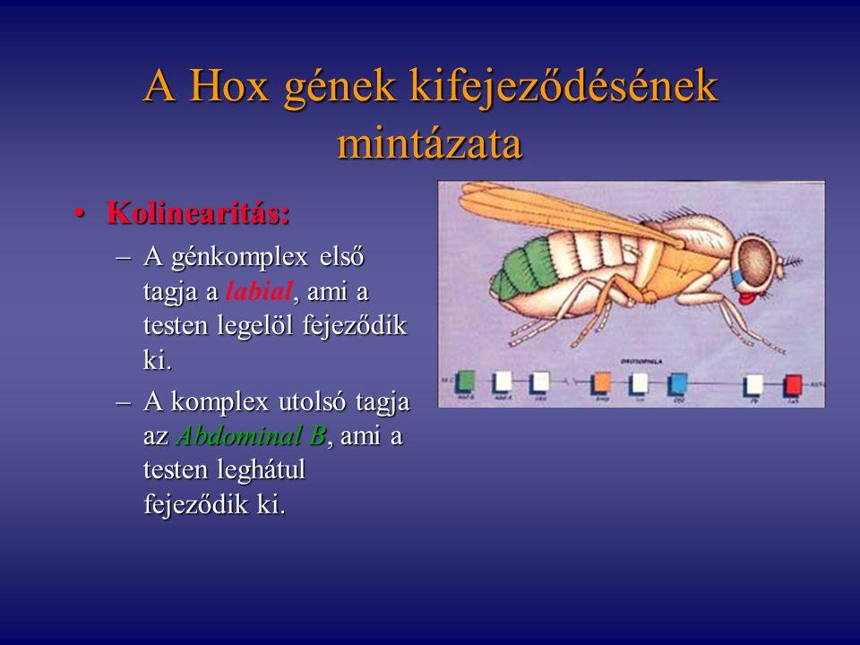 A Hox gének kifejeződésének mintázata Kolinearitás:Kolinearitás: –A génkomplex első tagja a, ami a testen legelöl fejeződik ki. –A génkomplex első tag