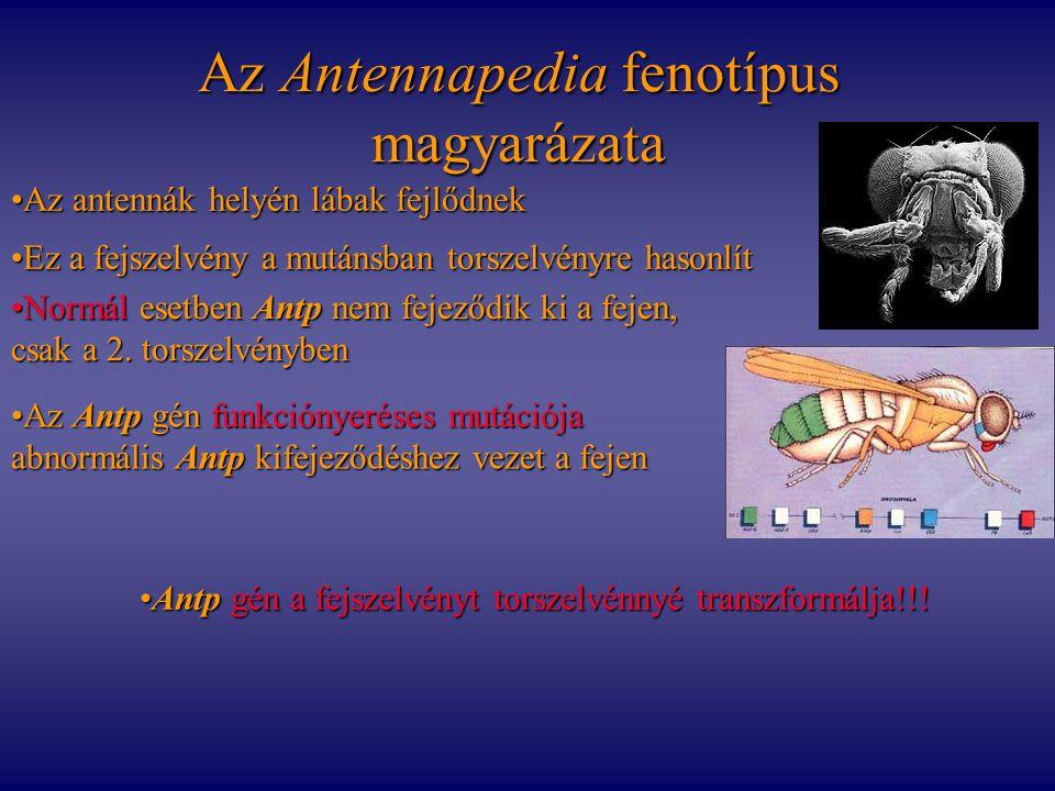 Az Antennapedia fenotípus magyarázata Az antennák helyén lábak fejlődnekAz antennák helyén lábak fejlődnek Ez a fejszelvény a mutánsban torszelvényre