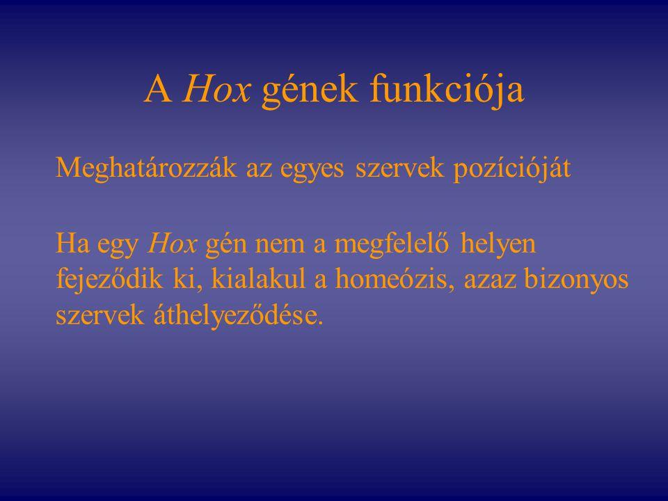 A Hox gének funkciója Meghatározzák az egyes szervek pozícióját Ha egy Hox gén nem a megfelelő helyen fejeződik ki, kialakul a homeózis, azaz bizonyos