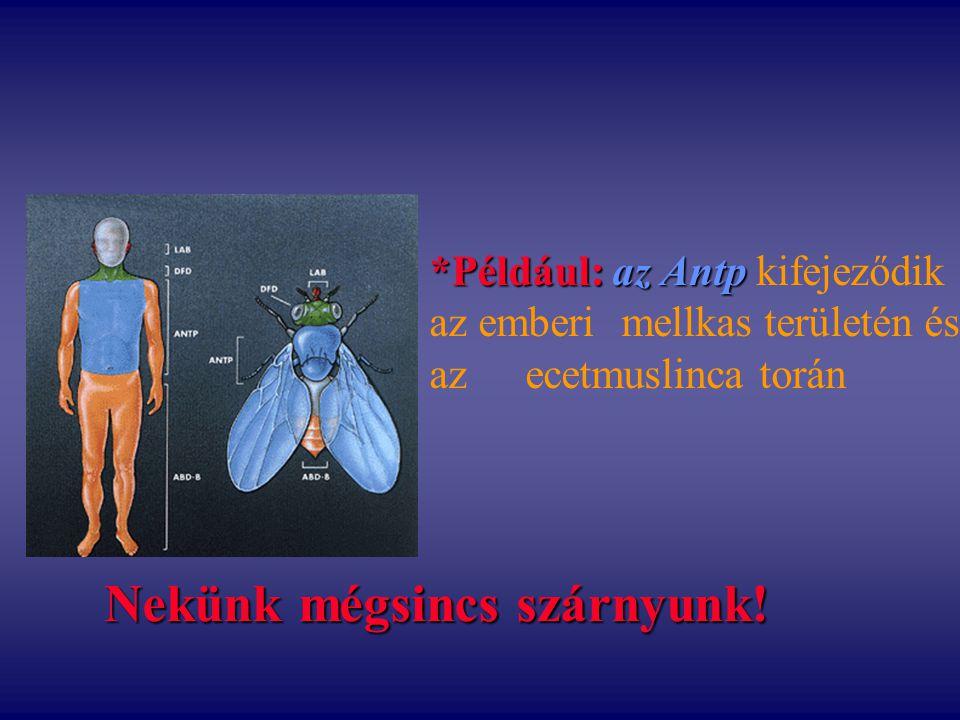 *Például: az Antp *Például: az Antp kifejeződik az emberi mellkas területén és az ecetmuslinca torán Nekünk mégsincs szárnyunk!