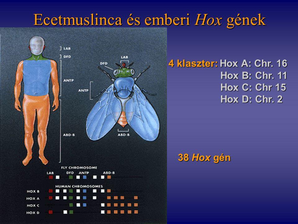 Ecetmuslinca és emberi Hox gének 4 klaszter: Hox A: Chr. 16 Hox B: Chr. 11 Hox B: Chr. 11 Hox C: Chr 15 Hox C: Chr 15 Hox D: Chr. 2 Hox D: Chr. 2 38 H