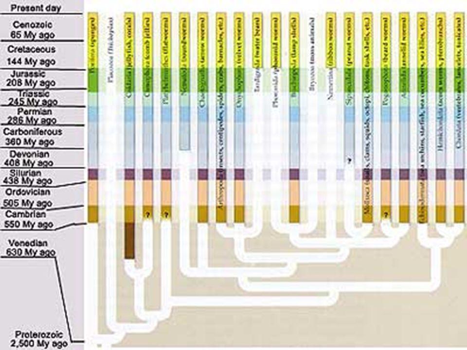 A kambriumi robbanás A Hox gének száma megnőtt Megnőtt a testterv komplexitása Változatosabb testfelépítés az állatvilágban