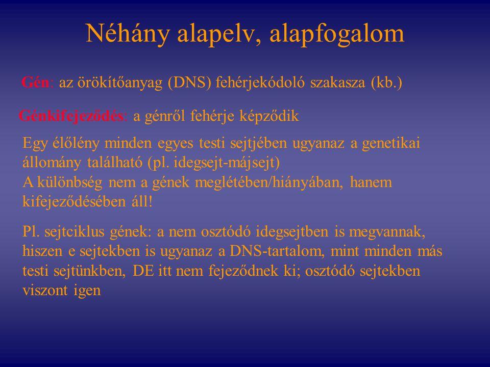 Néhány alapelv, alapfogalom Egy élőlény minden egyes testi sejtjében ugyanaz a genetikai állomány található (pl. idegsejt-májsejt) A különbség nem a g