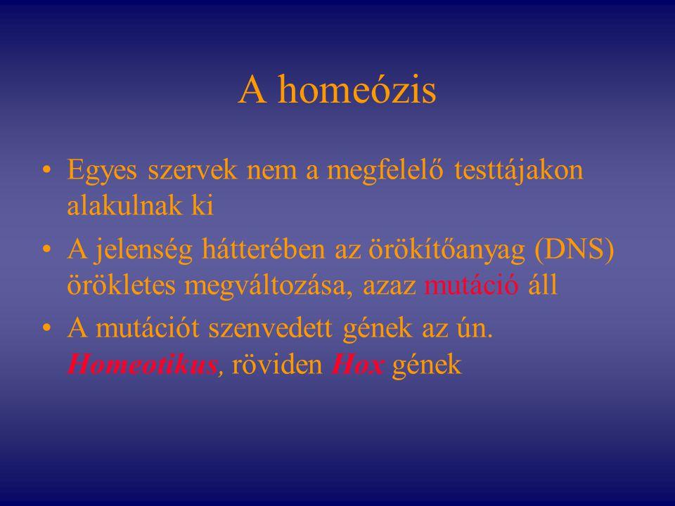 A homeózis Egyes szervek nem a megfelelő testtájakon alakulnak ki A jelenség hátterében az örökítőanyag (DNS) örökletes megváltozása, azaz mutáció áll
