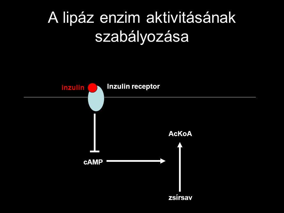 A lipáz enzim aktivitásának szabályozása Inzulin receptor inzulin cAMP zsírsav AcKoA