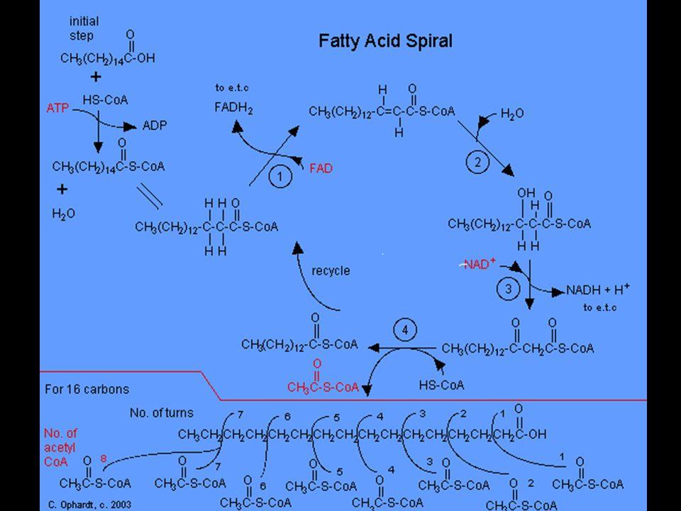 A zsírsavak β-oxidációja