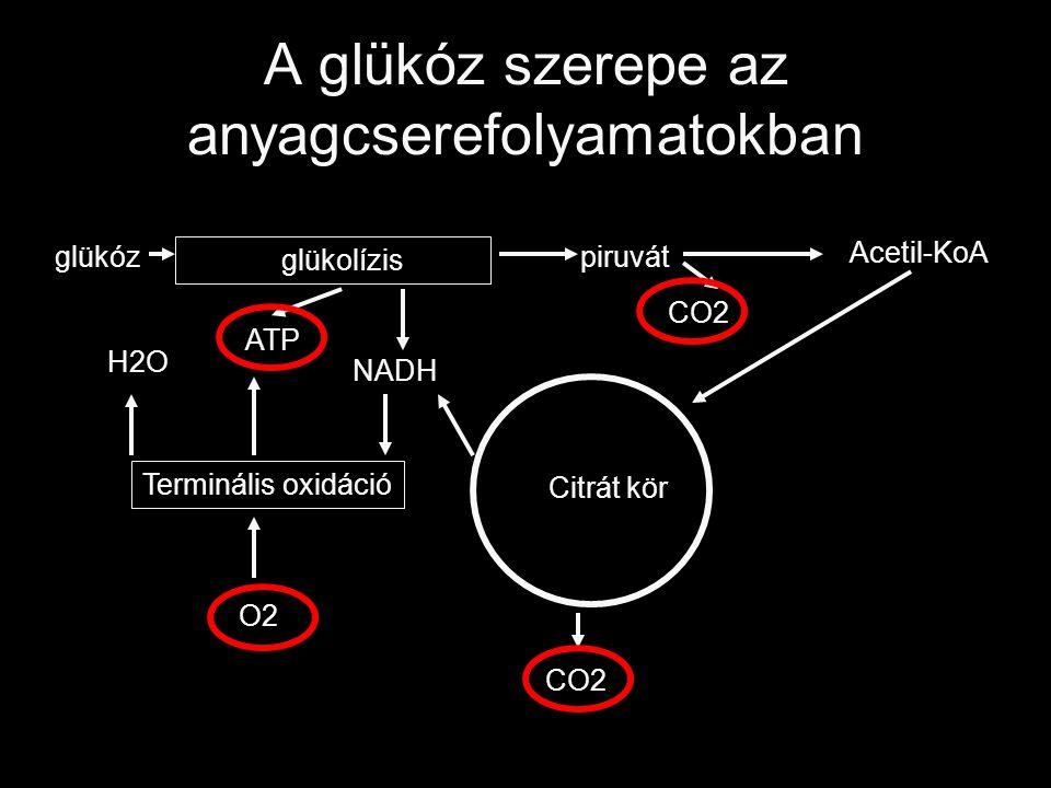 A glükóz szerepe az anyagcserefolyamatokban glükóz glükolízis piruvát Citrát kör Acetil-KoA Terminális oxidáció ATP CO2 O2 NADH H2O CO2