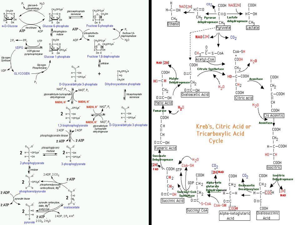 A ketontestek keletkezése Oxálacetát C4 Citrát C6 β-oxidációpiruvátPEP Glükózhiány β-oxidáció Glükoneogenezis AcKoa C2 Ketontestek: -hidroxi-vajsav -acetoacetát -aceton