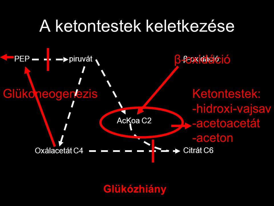 A ketontestek keletkezése Oxálacetát C4 Citrát C6 β-oxidációpiruvátPEP Glükózhiány β-oxidáció Glükoneogenezis AcKoa C2 Ketontestek: -hidroxi-vajsav -a