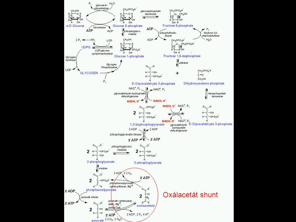 A glükoneogenezis Oxálacetát shunt
