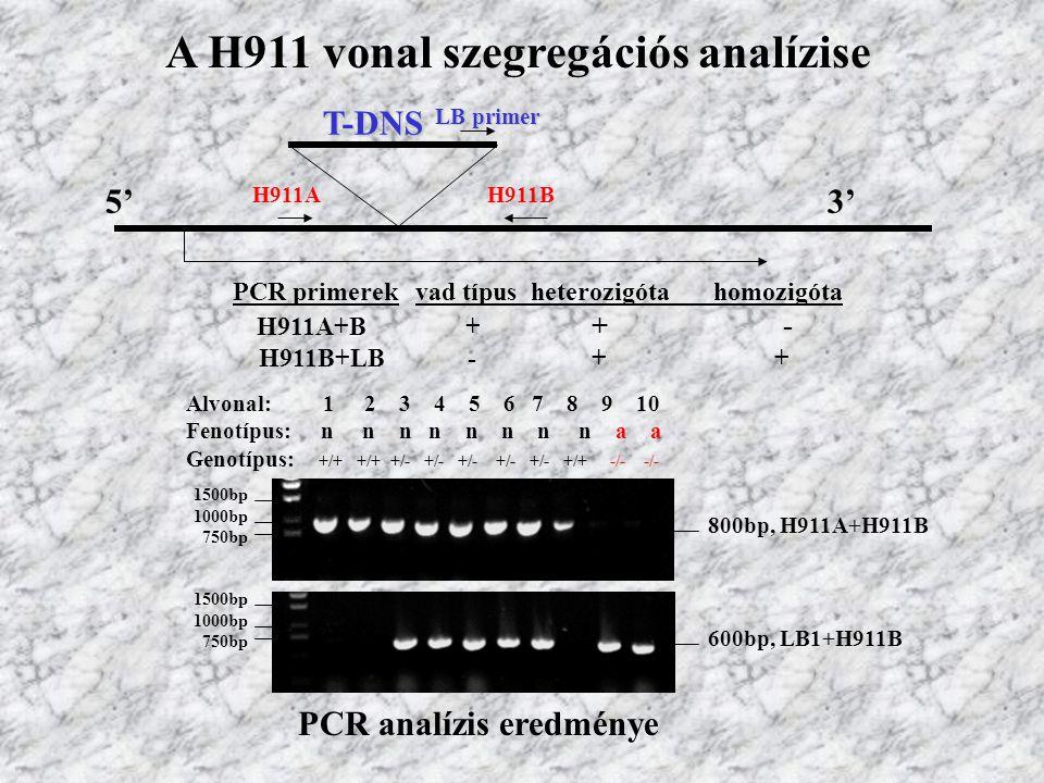 A H911 vonal szegregációs analízise LB primer T-DNS H911AH911B 5'3' PCR primerekvad típus heterozigóta homozigóta H911A+B+ + - H911B+LB- + + 1500bp 1000bp 750bp 1500bp 1000bp 750bp 800bp, H911A+H911B 600bp, LB1+H911B Alvonal: 1 2 3 4 5 6 7 8 9 10 Fenotípus: n n n n n n n n a a Genotípus: +/+ +/+ +/- +/- +/- +/- +/- +/+ -/- -/- PCR analízis eredménye