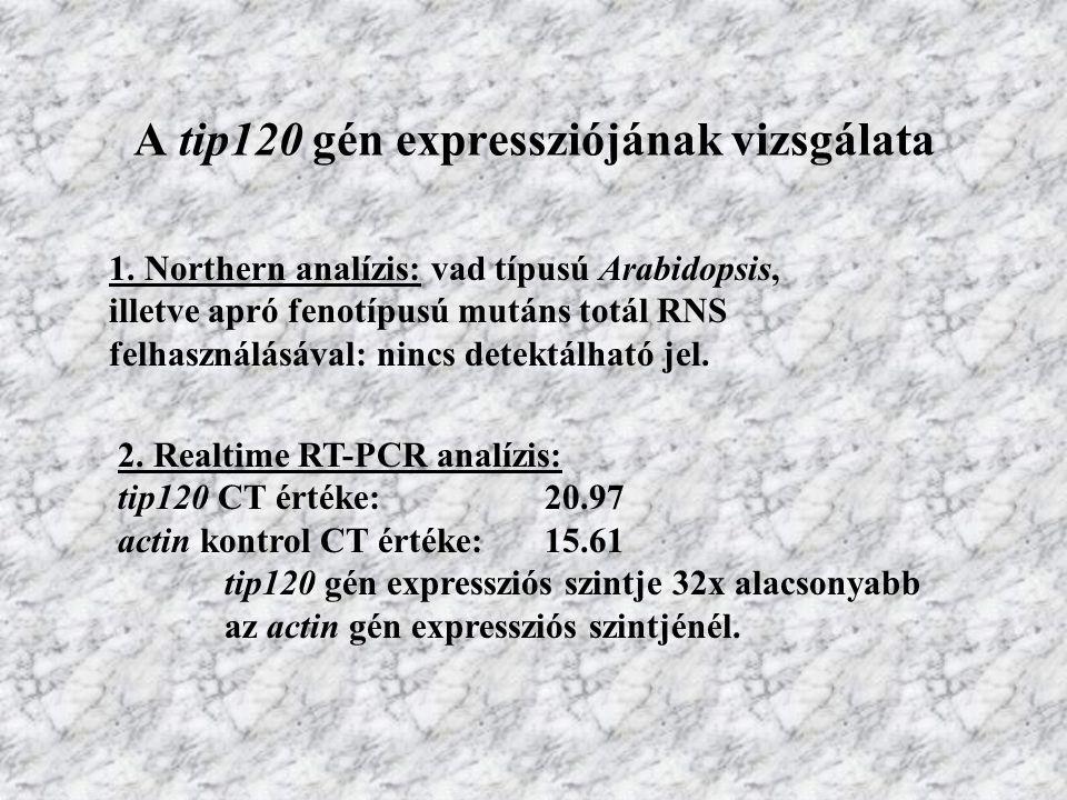 A tip120 gén expressziójának vizsgálata 1. Northern analízis: vad típusú Arabidopsis, illetve apró fenotípusú mutáns totál RNS felhasználásával: nincs
