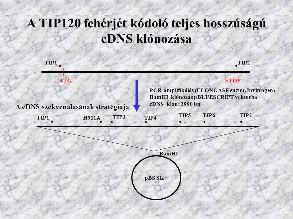 A TIP120 fehérjét kódoló teljes hosszúságú cDNS klónozása TIP2 ATGSTOP TIP1 PCR-amplifikálás (ELONGASE enzim, Invitrogen) BamHI- klónozás pBLUESCRIPT vektorba cDNS- klón: 3990 bp pBS SK+ A cDNS szekvenálásának stratégiája TIP1H911A TIP3 TIP4 TIP5TIP6TIP2 BamHI