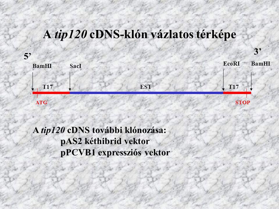 A tip120 cDNS-klón vázlatos térképe 5' 3' BamHISacI EcoRIBamHI ESTT17 ATGSTOP A tip120 cDNS további klónozása: pAS2 kéthibrid vektor pPCVB1 expresszió